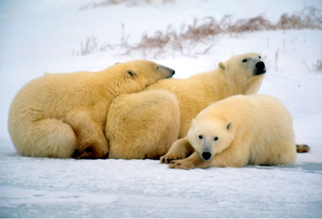 Of all of the wildlife in the Arctic, the polar bear is the most fitting icon for this region. Its amazing adaptation to life in the harsh Arctic environment makes it an impressive species.  Kevin Sc