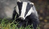 Court Of Appeal Rules Badger Cull Legal
