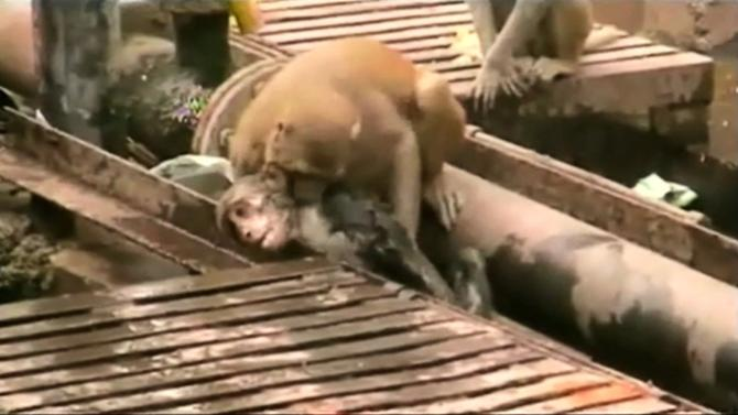 A still image taken from video shows a monkey biting another monkey which fell unconscious after being shocked by electrical wiring in India's northern city of Kanpur