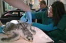 Acupuncturist Claire McManus treats a sea turtle, which was injured after getting stranded on Cape Cod during a prolonged exposure to cold weather, at the New England Aquarium's animal care center in Quincy, Mass., Monday, May 20, 2013. The turtle remained calm as McManus gently tapped more than a dozen needles into its leathery skin during a therapy session intended to decrease inflammation and swelling on its front flippers, restore a full range of motion on those limbs and help the animal regain its appetite. (AP Photo/Rodrique Ngowi)