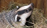 Badger Cull Pilot Delayed Until Next Summer