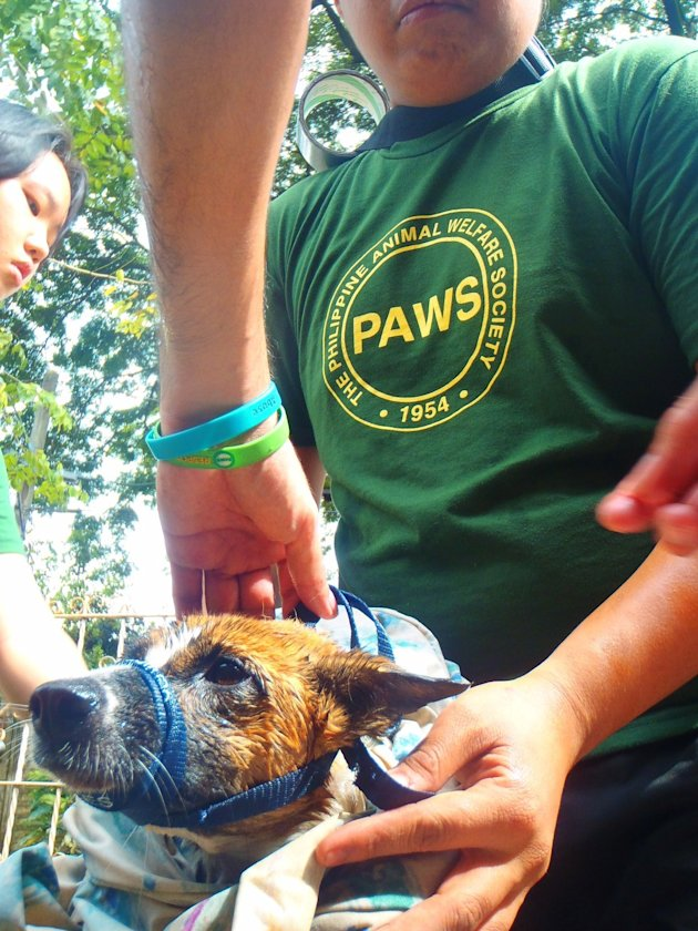 PAWS-volunteer-Joe-Claret-carefully-puts-a-leash-on-Bebekara--one-of-the-dogs-rescued-in-Cainta--Rizal-2-jpg_085521 - About THE PHILIPPINE ANIMAL WELFARE SOCIETY - Directory Philippines
