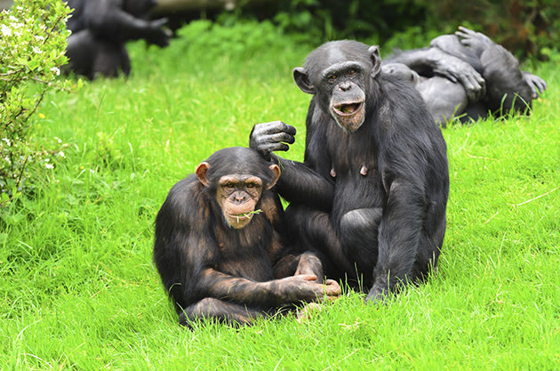 Chimpanzees (Thinkstock)