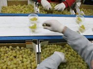 Vinalopo grapes being prepared at a vineyard in Novelda, eastern Spain for consumption on New Year's Eve. Spaniards gobble a dozen grapes before the stroke of midnight on New Year's Eve, each fruit representing a month that will either be sweet or sour.