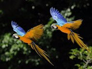 This file illustration photo whows two parrots flying during an exotic bird show. Nine birds, including an endangered swift parrot, had their heads smashed in or ripped off and more than 60 animals were missing on Saturday after vandals went on the rampage at an Australian zoo