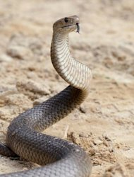 A deadly Australian eastern brown snake -- which has enough venom to kill 20 adults with a single bite -- seen in the Sydney suburb of Terrey Hills. According to the Australia Venom Research Unit of the University of Melbourne, the country is home to 20 of the world&#39;s 25 most venomous snakes, including the entire top 10