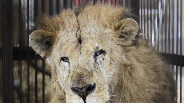 "Rescued lion ""Leo"" is seen in its cage while it is quarantined at a temporary custody centre in Lima"
