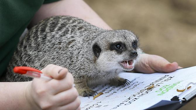 A meerkat sits on a keepers clipboard during a photo call for the annual stock take at London Zoo, Thursday, Jan. 3, 2013. More than 17,500 animals including birds, fish, mammals, reptiles and amphibians are counted in the annual stock take at the zoo. (AP Photo/Kirsty Wigglesworth)