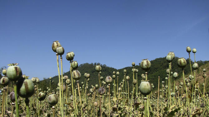 In this Feb. 2, 2012 photo released by the United Nations Office on Drugs and Crime (UNODC), opium poppies stand after being harvested at a field in Myanmar's Shan state. The cultivation of illegal opium has increased in Myanmar for a sixth successive year, fueled in part by rising demand for heroin across Asia, the U.N. report said Wednesday, Oct. 31, 2012. (AP Photo/UNODC)