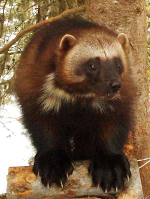 "This undated image provided by the U.S. Fish and Wildlife Service shows a wolverine. Add the tenacious wolverine, a snow-loving predator sometimes called the ""mountain devil,"" to the list of species the government says is threatened by climate change. Federal wildlife officials on Friday, Feb. 1, 2013, will propose Endangered Species Act protections for the rare animal in the lower 48 states, a step twice denied under the Bush administration. (AP Photo/U.S. Fish and Wildlife Service)"