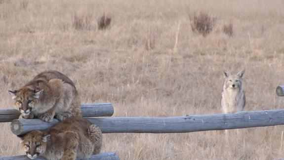 Cougars Narrowly Escape Coyotes' Wrath