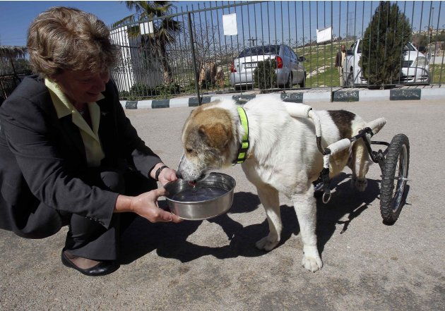 Margaret Ledger, head of the Humane Center for Animal Welfare, gives water to Abayed, a herding dog, inside the Humane Center for Animal Welfare near Amman