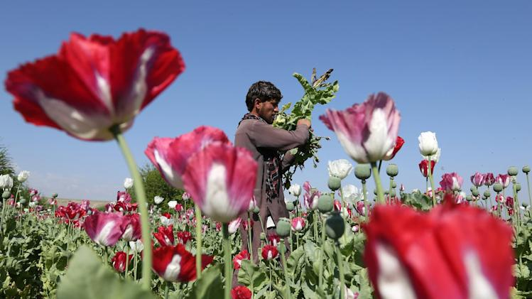 In this picture taken on Thursday, April 17, 2014, an Afghan farmer works on a poppy field collecting the green bulbs swollen with raw opium, the main ingredient in heroin, in the Khogyani district of Jalalabad, east of Kabul, Afghanistan. This year's bumper crop represents one of the most tangible and visible failures of U.S. policy in Afghanistan, as the American-led military force prepares to withdraw by the end of this year. (AP Photo/Rahmat Gul)