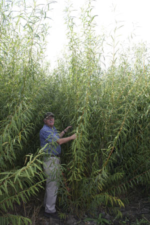 Energy from willows comes of age in upstate NY