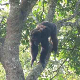 Chimps in Uganda: Travels In and Out of the Forest