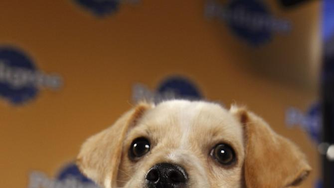 """This undated publicity photo provided by Animal Planet shows a dog, Fumble, during """"Puppy Bowl VIII,"""" in New York. The """"Puppy Bowl,"""" an annual two-hour TV special that mimics a football game with canine players, made its debut eight years ago on The Animal Planet. Fumble, the spcaLA's entry in """"Puppy Bowl VIII,"""" earned the game's Most Valuable Pup crown. (AP Photo/Animal Planet, Kimberly Holcombe)"""