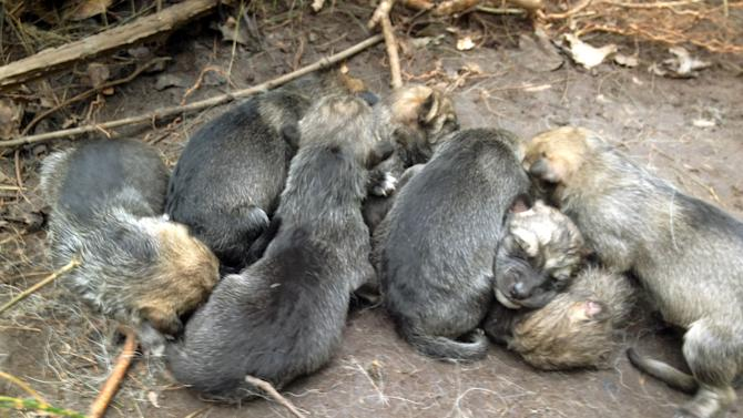 In this May 6, 2012 photo provided by the Wolf Conservation Center, a litter of eight new born Mexican wolf pups snuggle at the Center's facility in South Salem, N.Y.  The eight pups born at the preserve on Sunday, May 6, could aid the federal program that has reintroduced the endangered species to the wild. In 2011 it was believed that there were 50 Mexican wolves living wild in the United Sates. (AP Photo/Wolf Conservation Center, Maggie Howell)