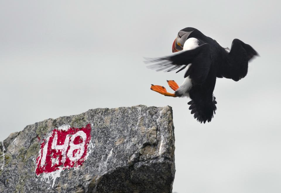 In this July 1, 2013, photo, a puffin prepares to land on Eastern Egg Rock off the Maine coast. The number marks a burrow. Puffins nest beneath the rocks preferring remote islands that have no predators such as minks. (AP Photo/Robert F. Bukaty)