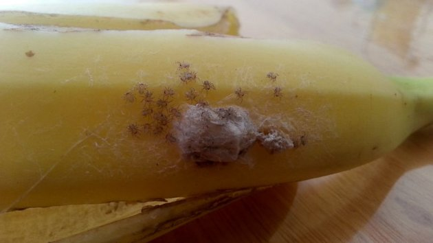Potentially Deadly Spiders Found in Supermarket Banana (ABC News)