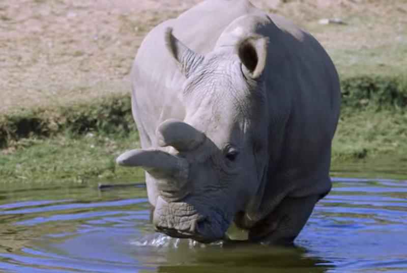 There are only three northern white rhinos left on the planet
