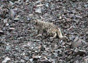 Elusive Snow Leopards Collared for Science
