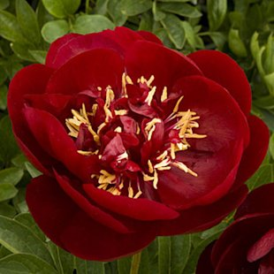 'Buckeye Belle' Herbaceous peony