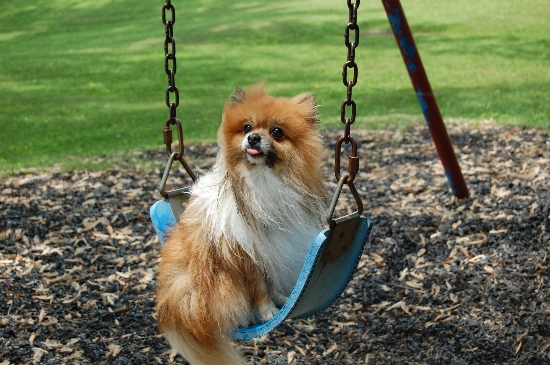 Dog Swinging in the Park