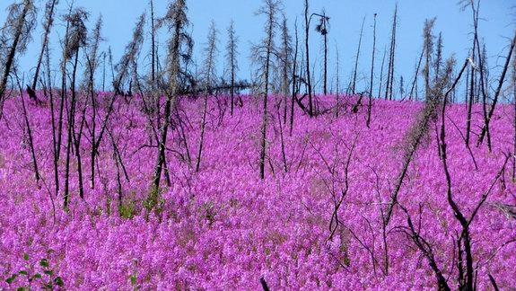 Subarctic Wildfire Activity Is Heating Up