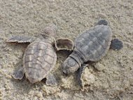 Loggerhead sea turtle hatchlings at the Back Bay National Wildlife Refuge in Virginia.