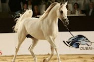 Dubai International Arabian Horse Championship trots into town