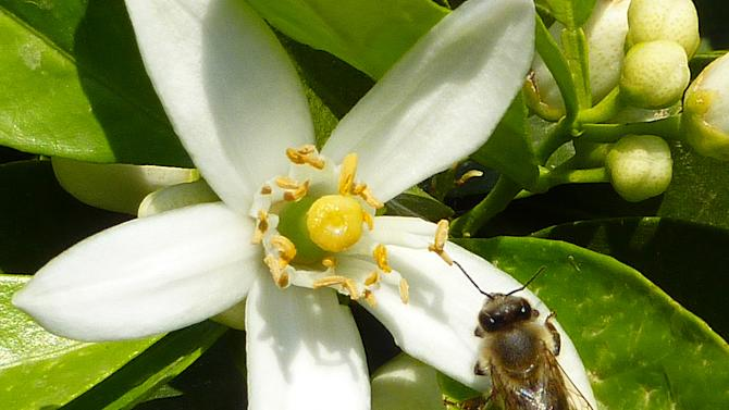 This undated image made available by Geraldine Wright shows a honeybee visiting a citrus flower. A new study says honeybees get a shot of caffeine from certain flowers, and it perks up their memory. That spurs them to return to the same type of plant, boosting its prospects for pollination and the future of the plant species. Some citrus plants such as orange and grapefruit blossoms have a small amount of caffeine. The work, by Geraldine Wright of Newcastle University in England and co-authors, was reported Thursday, March 7, 2013 in the journal Science. (AP Photo/Geraldine Wright)