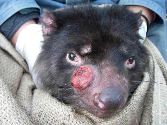 Tasmanian Devil's Sneaky, Contagious Cancer Evolves