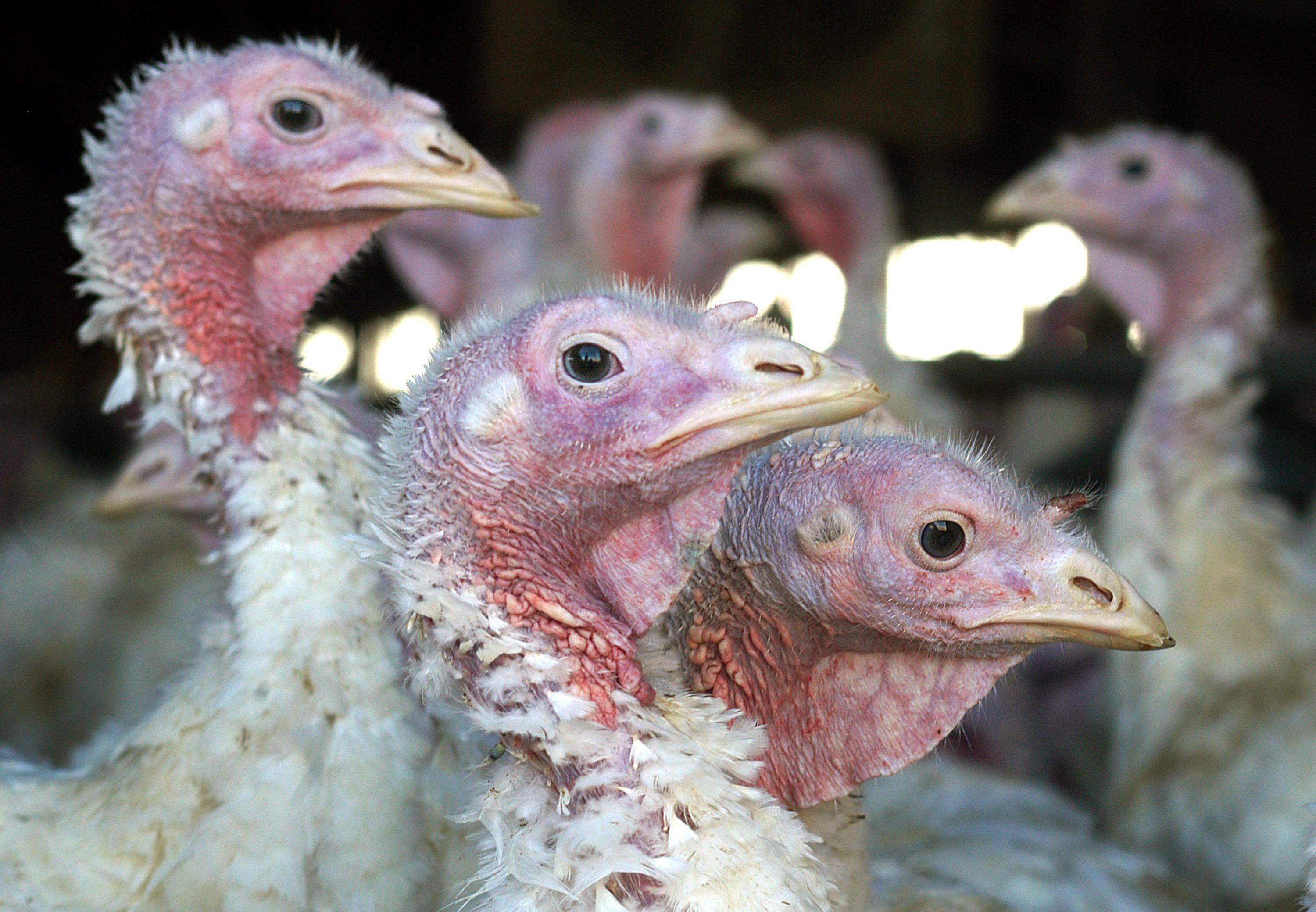 Bird flu found in a top Minnesota turkey producing county