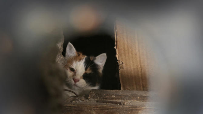 A stray cat seen through a hole in an iron panel covering a basement window in the Belarusian capital Minsk, Monday, Feb. 4, 2013. Municipal authorities in Belarus are walling up stray cats in basements in compliance with Soviet-era regulations, dooming them to death of hunger. Belarus doesn't have shelters for stray animals. Municipal authorities said they wall up doors to basements in line with sanitary norms introduced in 1990, when Belarus was still part of the USSR. (AP Photo/Sergei Grits)