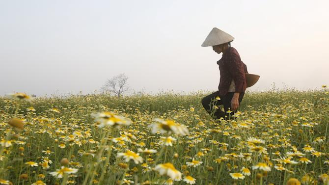 A farmer works in a field of blossoming cabbage plants in Xuan Son village, outside Hanoi, Vietnam