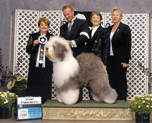 This September 2010 photo provided by Old English Sheepdog Club of America shows English Sheepdog, Georgie Girl, in the top twenty at an Old English Sheepdog of America competition. Breeders in the United States and England are concerned about the drop in the number of purebred sheepdog puppies registered in the two countries each year, as more owners choose smaller dogs like pocket pets and designer puppies. (AP Photo/Old English Sheepdog Club of America, J.C. Photography)