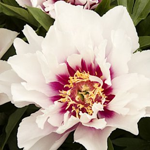'Cora Louise' Itoh hybrid peony'