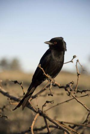 Forked-tail drongo is shown perched in Kuruman River Reserve in South Africa