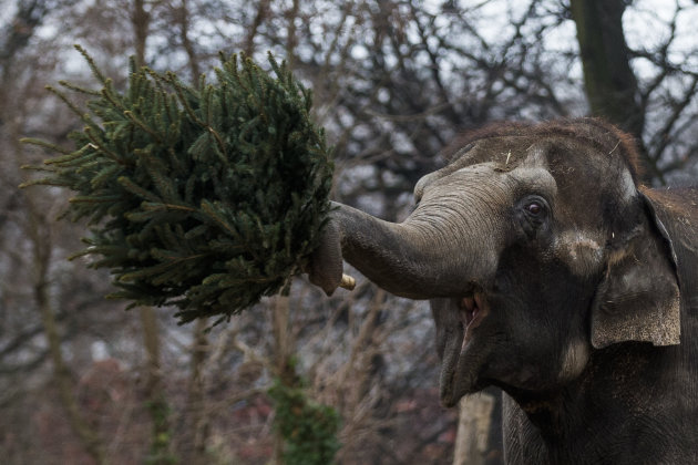 An elephant  holds a christmas tree at the Berlin Zoo at the launch of the annual feeding of christmas trees in Berlin, Friday, Jan. 4, 2013. Keeper Dr. Ragnar Kuehne told reporters that today was  th