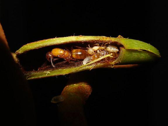 Carnivorous Plants Employ Bodyguard Ants