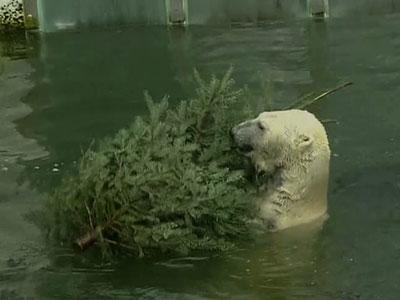 Zoo Animals Dine on Used Christmas Trees