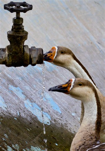 A duck quenches it's thirst from a tap at Zoo, where temperatures reach up to 43 degrees Celsius (109.4 degrees Fahrenheit) in Islamabad, Pakistan, Wednesday, May 30, 2012. (AP Photo/Anjum Naveed)