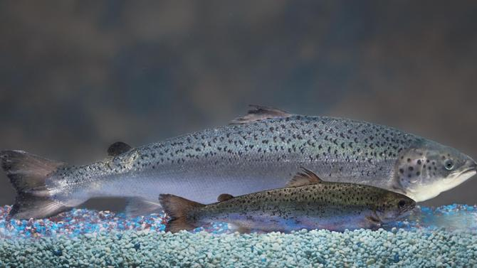 This undated 2010 handout photo provided by AquaBounty Technologies shows two same-age salmon, a genetically modified salmon, rear, and a non-genetically modified salmon, foreground. Salmon that's genetically modified to grow twice as fast as normal could soon show up on your dinner plate — if the company that makes the fish can stay afloat. (AP Photo/AquaBounty Technologies) NO SALES