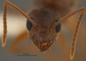 'Crazy' Ants Driving Out Fire Ants in Southeast