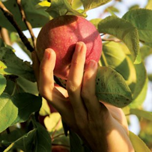 Should You Be Picking Organic Apples?
