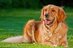 Golden Retriever via Shutterstock