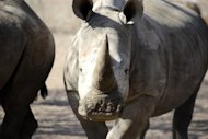 An adult white rhino, picture in a safari park in South Africa. A Thai national who pleaded guilty to organising bogus trophy hunts to sell rhino horns on the international black market has been sentenced to 40 years in a South African jail
