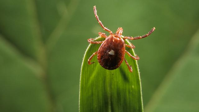 Tick May Be Spreading Vegetarianism