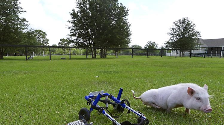 """In this Thursday, May 30, 2013 photo, potbellied pig """"Chris P. Bacon,"""" owned by veterinarian Dr. Len Lucero, stands on the grass, in Sumterville, Fla. The pig was born without the use of his back legs. Lucero, who adopted the pig when a woman brought him into his animal clinic, has fashioned and bought a special harness so he can move around. (AP Photo/Tamara Lush)"""