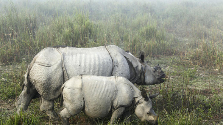 FILE - In this Dec. 3, 2012 file photo, one-horned rhinoceroses graze inside the Kaziranga National Park, a wildlife reserve that provides refuge to more than 2,200 endangered Indian one-horned rhinoceros, in the northeastern Indian state of Assam. Elephants, rhinos, sharks and manta rays are among the animals that could be getting more international protection at the triennial meeting of the Convention on International Trade in Endangered Species of Wild Fauna and Flora. (AP Photo/Anupam Nath)